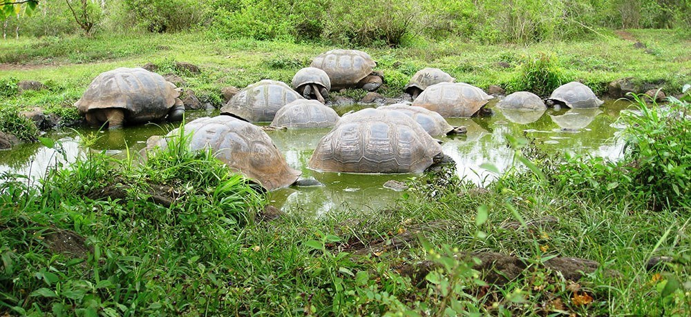 Protecting the Galapagos giant tortoise